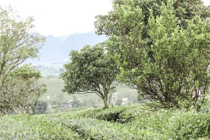 Những cánh đồng chè đầy thơ mộng ở Mộc Châu - ảnh 6