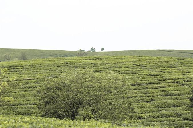 Những cánh đồng chè đầy thơ mộng ở Mộc Châu - ảnh 7