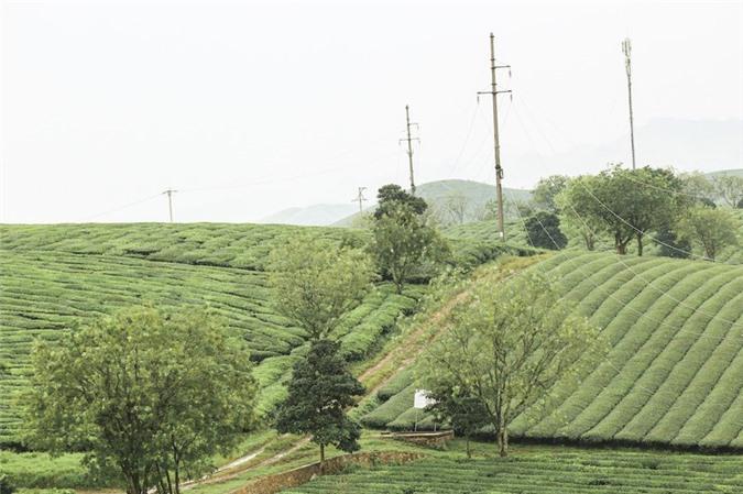 Những cánh đồng chè đầy thơ mộng ở Mộc Châu - ảnh 8