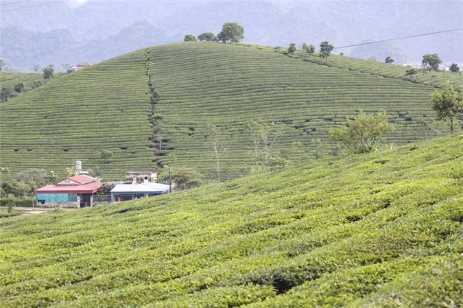 Những cánh đồng chè đầy thơ mộng ở Mộc Châu - ảnh 9