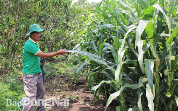 Nông dân Đồng Nai chủ yếu dùng giống bắp lai do doanh nghiệp FDI sản xuất. Trong ảnh: Bắp trồng tại xã Bảo Hòa (huyện Xuân Lộc). Ảnh: B.Nguyên