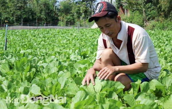 Gần 90% hạt giống rau ăn lá do doanh nghiệp FDI sản xuất. Trong ảnh: Sản xuất rau ăn lá tại xã Xuân Đông (huyện Cẩm Mỹ)