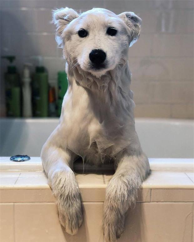 Tưởng gấu bắc cực đột nhập, không ngờ chỉ là chú chó trắng đang tắm mà thôi. Thật ngẫu nhiên.