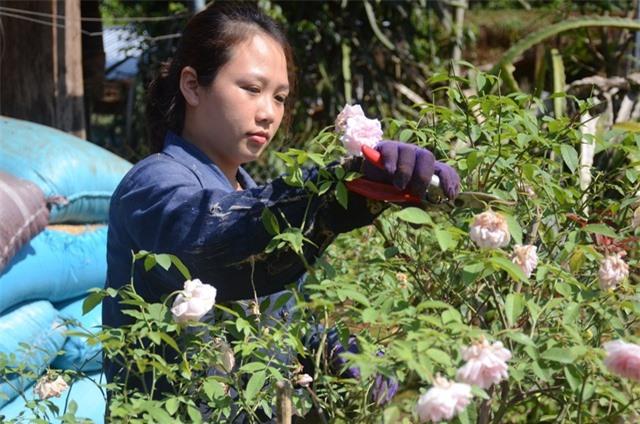 Nhiều cây hồng có dáng đẹp, cao gần 2m được bán với giá vài triệu đồng