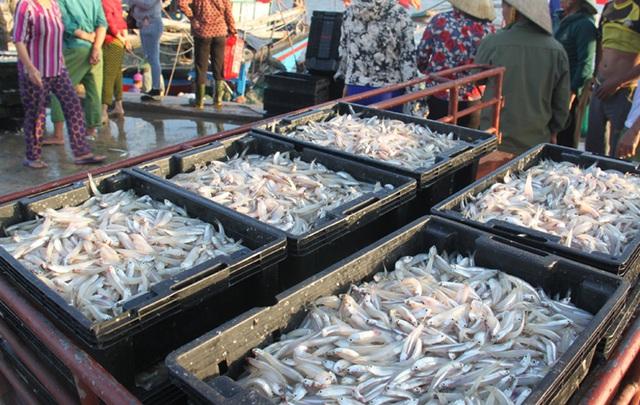 Cá cơm hiện có giá dao động từ 15.000 - 18.000 đồng/kg, cao hơn năm trước từ 4.000/kg
