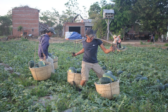 Với giá 500 đồng/kg, người dân lỗ hơn 100 triệu/ha.