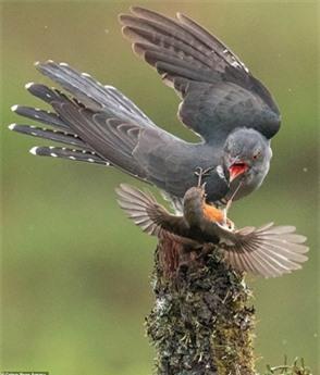 Khi chim tu hú đang đậu trên một thân cây, con chim nhỏ hơn kia lao đến và liên tiếp dùng mỏ tấn công.