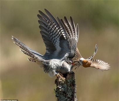 Chim tu hú dùng đôi cánh lớn để bảo vệ bản thân khỏi những đòn tấn công của đối thủ.