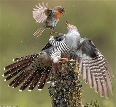 Có thể thấy sự sợ hãi của con chim tu hú khi kẻ địch quá nhanh nhẹn và hung dữ dù kích thước nhỏ hơn rất nhiều.