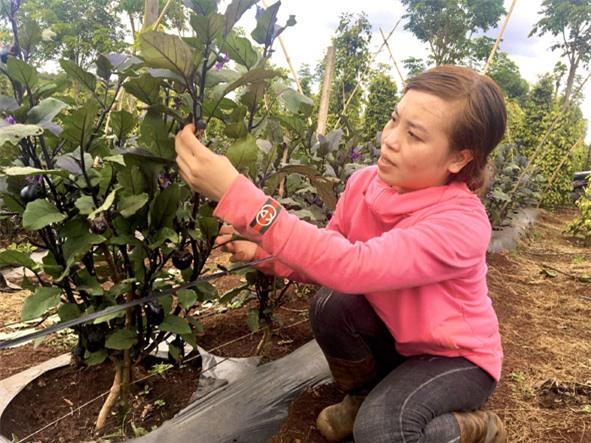 Chị Trần Thị Duyên (thôn Liên Kết) chăm sóc vườn cà tím.