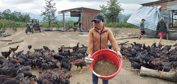 Chị Vân đang cho gà ăn ấu trùng.