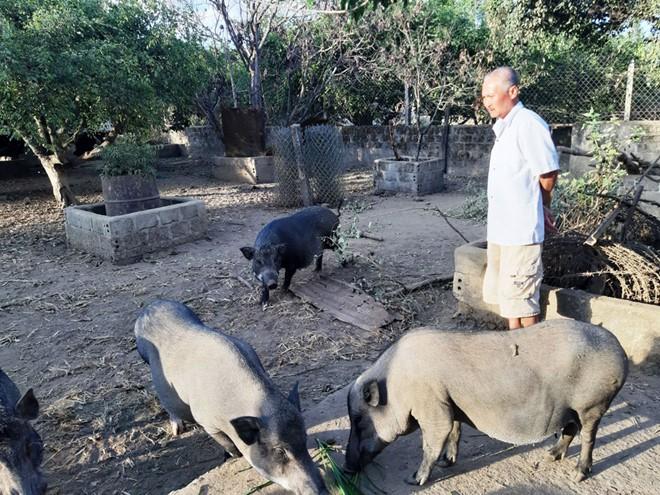 Việc nuôi lợn rừng lai của các nhóm hộ ở xã Đăk Tpang có nhiều thuận lợi khi tận dụng được nguồn phế phẩm nông nghiệp sẵn có như bí, ngô… và dồi dào như rau rừng, cỏ dại. (Ảnh minh họa: Thanh niên).