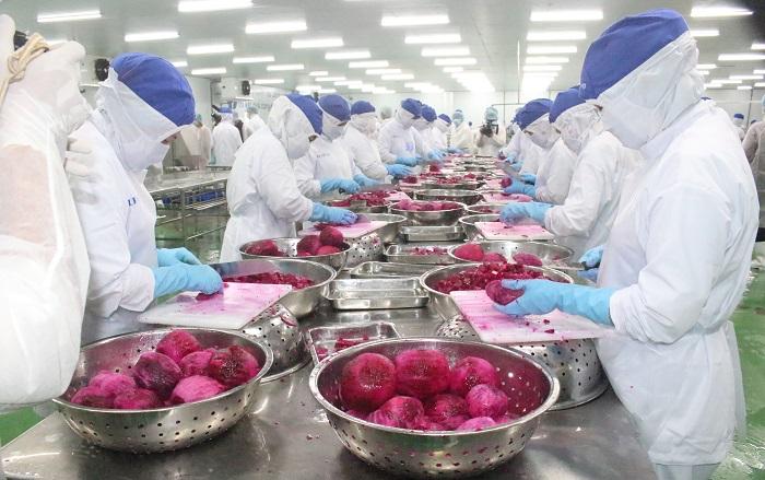 Không khí tất bật chế biến thanh long trong nhà máy của Lavifood
