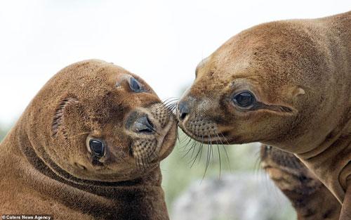 Tình cảm của hai chú sư tử biển