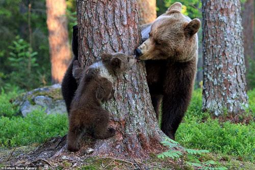 Gấu mẹ chơi đùa với gấu con