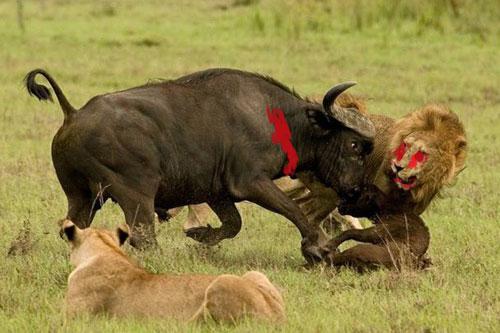 Những trận chiến kinh hoàng giữa sư tử và trâu rừng