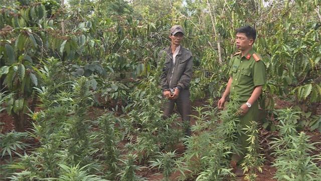 Người đàn ông trồng cần sa trên rẫy cà phê, tích mìn tự chế trong nhà - 1