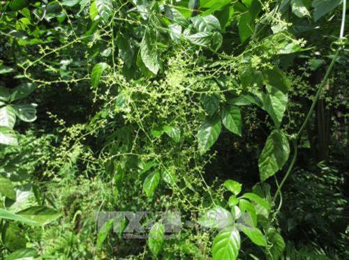 Thanh Hóa chuyển đổi nhiều diện tích đất nông nghiệp kém hiệu quả sang trồng cây dược liệu