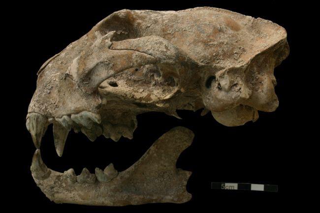 Hộp sọ của báo sư tử được tìm thấy trong mộ cổ Maya.