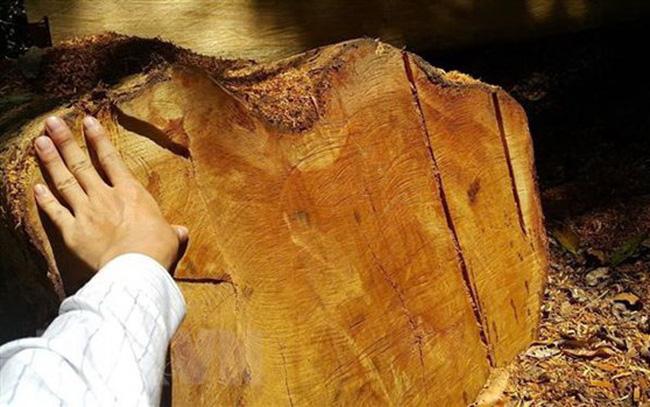 Hiện trường một vụ chặt hạ cây gỗ giáng hương. (Ảnh minh họa: TTXVN)