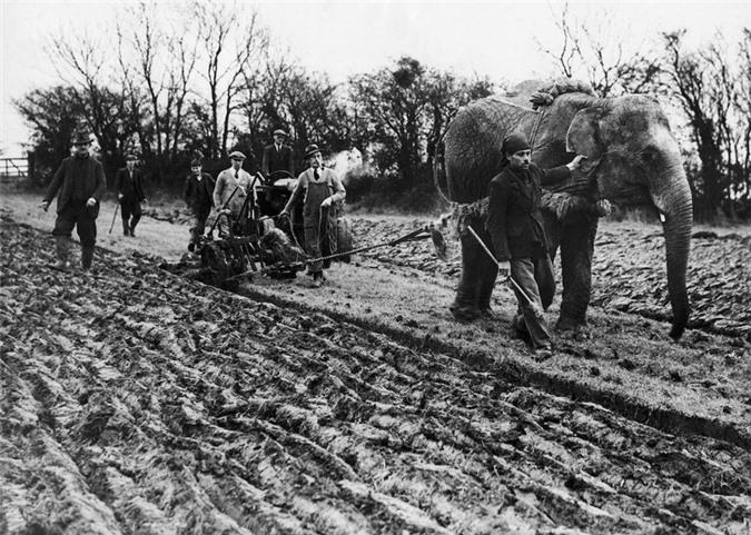 Những con voi đi cày thay trâu ngựa trong Thế chiến thứ I - ảnh 2