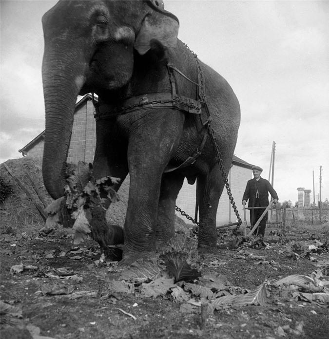 Những con voi đi cày thay trâu ngựa trong Thế chiến thứ I - ảnh 3
