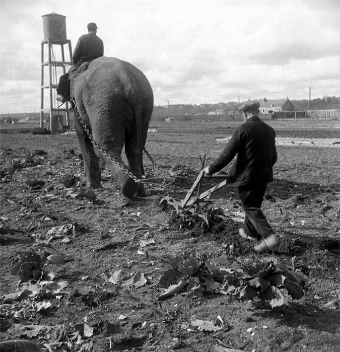 Những con voi đi cày thay trâu ngựa trong Thế chiến thứ I - ảnh 4