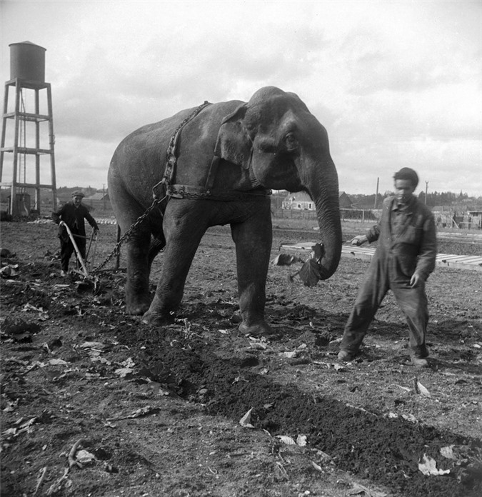 Những con voi đi cày thay trâu ngựa trong Thế chiến thứ I - ảnh 6