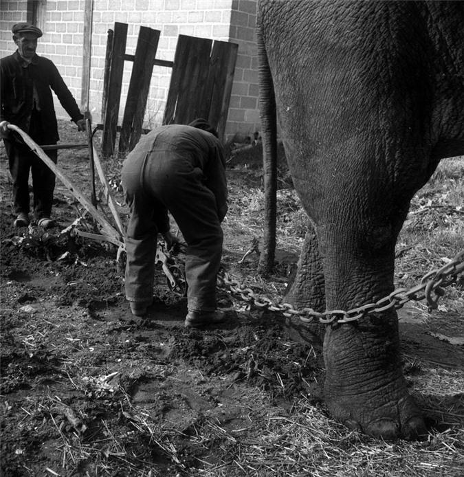 Những con voi đi cày thay trâu ngựa trong Thế chiến thứ I - ảnh 7