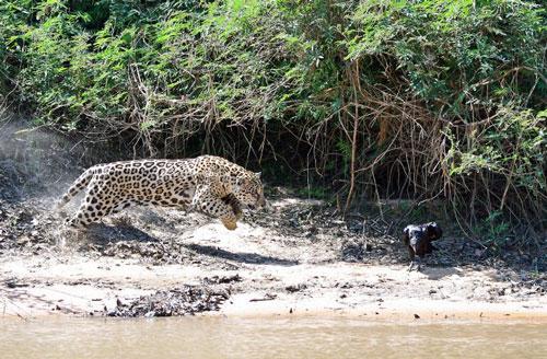 Khi đang mải mê tìm kiếm thức ăn dọc bờ sông, chú kền kền không hề hay biết nó đang rơi vào tầm ngắm của con báo đốm. Cho tới khi nhận ra nguy hiểm thì mọi việc đã quá muộn.