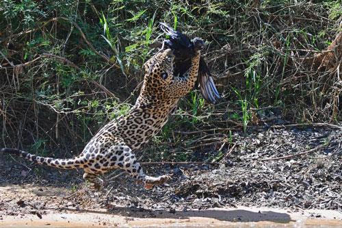 Bởi vì, con báo đã không ngần ngại phi người lên tóm gọn nó.