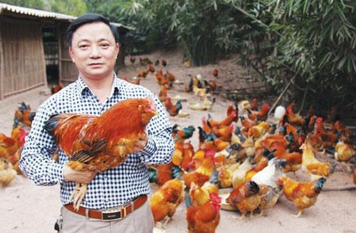 Hà Lâu phát triển chăn nuôi gà theo hướng hàng hóa