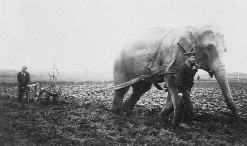 Một chú voi đến từ gánh xiếc Bỉ đang cày ruộng trong Thế chiến thứ I năm 1915.