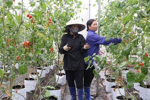 Sự hỗ trợ tích cực của Liên minh HTX Việt Nam giúp các HTX có điều kiện phát triển bền vững hơn