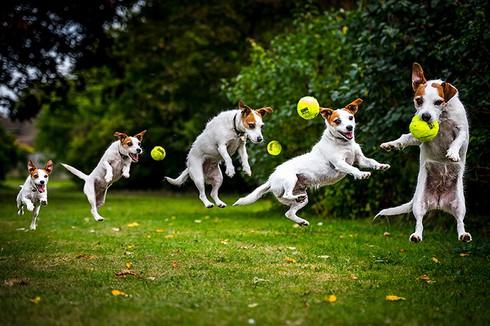 Chú chó Jack Russell tung người lên không bắt bóng khi đang dạo chơi trong công viên Stanmer, Brighton, Anh