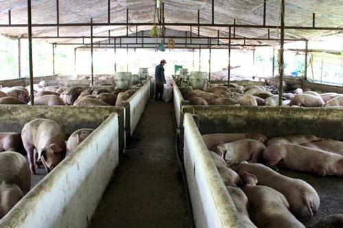 Các doanh nghiệp chăn nuôi cần xây dựng chuỗi liên kết (Ảnh: Internet)
