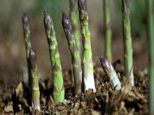 Trồng măng tây giúp các HTX có nguồn thu ổn định