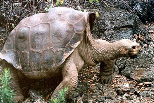 """Con rùa khổng lồ đảo Pinta nổi tiếng """"George cô đơn"""". Ảnh: Guardian."""