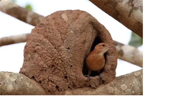 1001 thắc mắc: Loài chim nào được mệnh danh là 'thánh tán gái'? - ảnh 1