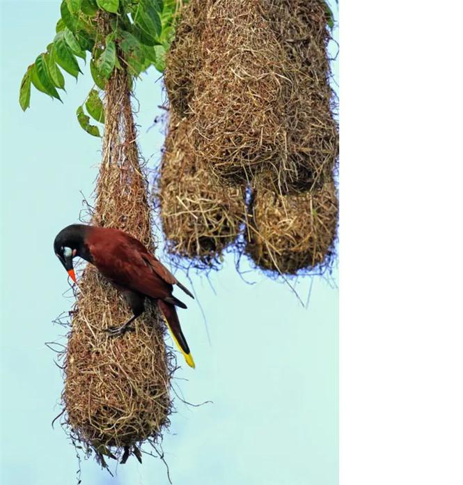 1001 thắc mắc: Loài chim nào được mệnh danh là 'thánh tán gái'? - ảnh 2