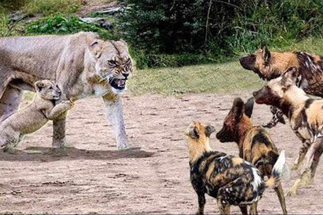 Sư tử mẹ sẵn sàng chiến đấu với bầy chó hoang để bảo vệ con.