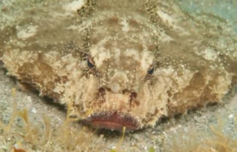 Con cá này có một xương sống dài trên lưng, có miệng cùng hai lỗ mũi như người.