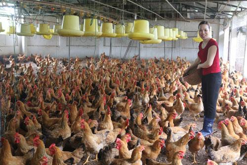 Gia đình chị Hoàng Thị Chinh đạt thu nhập hơn 200 triệu đồng/năm từ nuôi gà bố mẹ.