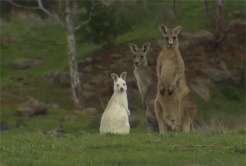 Phat hien kangaroo mau trang hiem co o Nam Uc