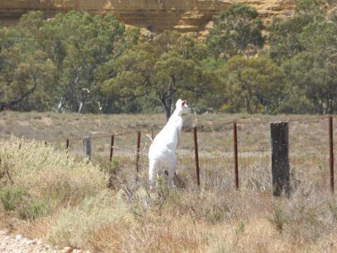 Chú kangaroo màu trắng được phát hiện thấy ở Nam Úc vừa qua.