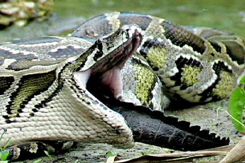 Trăn Miến Điện nuốt gọn cá sấu.