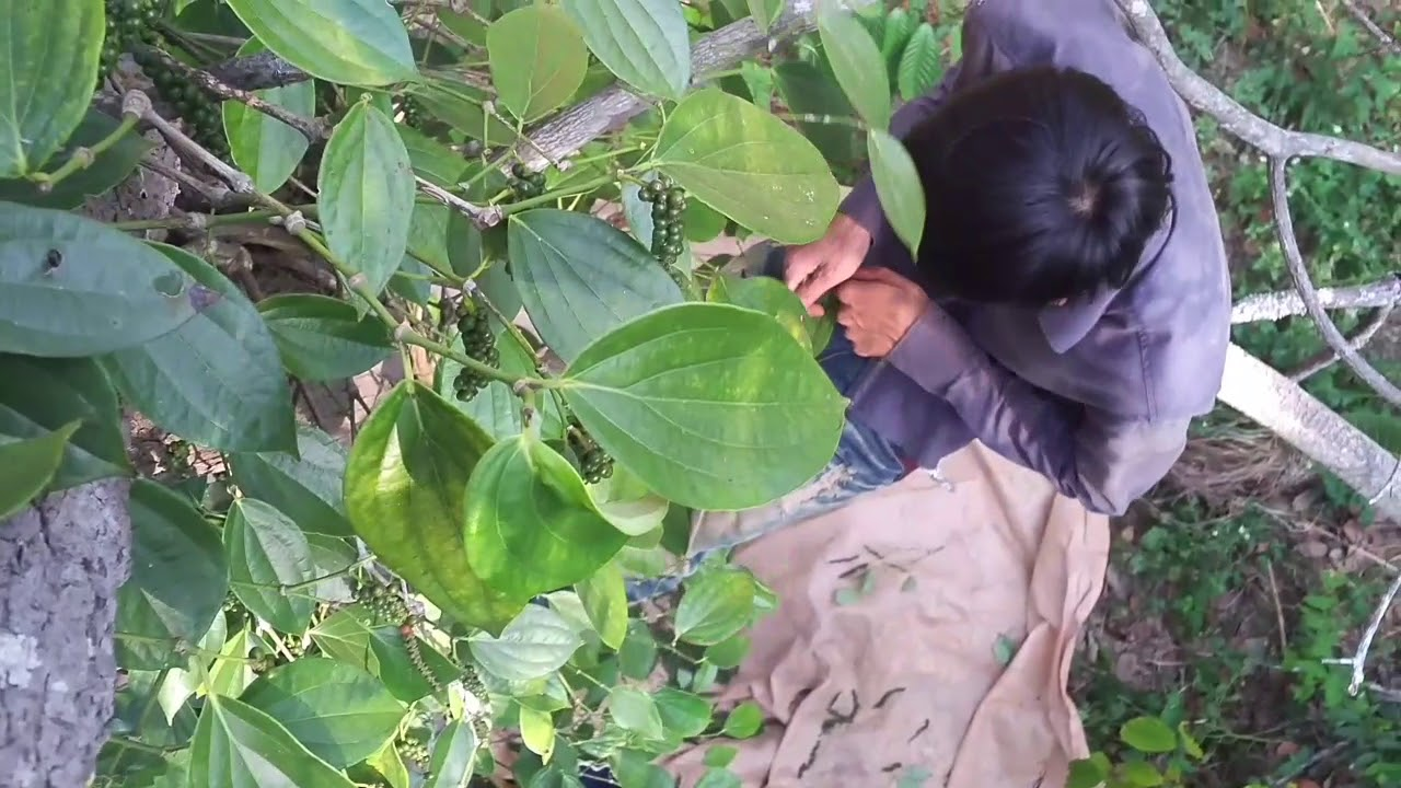 Trước tình trạng trên, chính quyền và hội nông dân các địa phương của tỉnh Bình Phước cũng đã vận động tuyên truyền người dân không mở rộng thêm diện tích, đồng thời có thể trồng xen canh các loại cây khác trên diện tích cây tiêu.