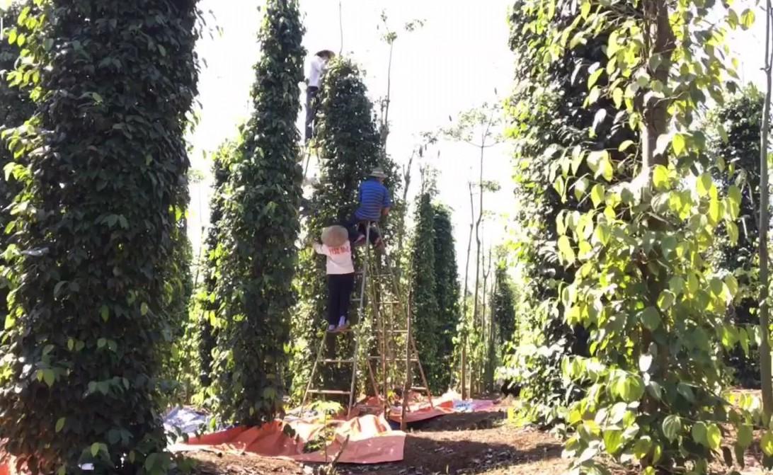 Người trồng tiêu đang gặp rất nhiều khó khăn khi giá tiêu liên tục lao dốc, khan hiếm nhân công...