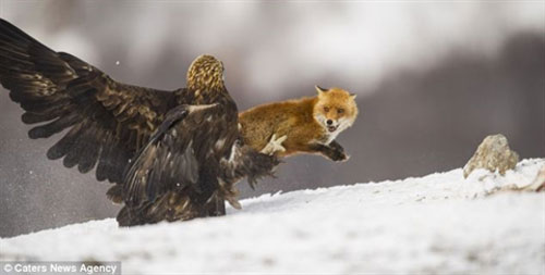 Đại bàng đang ăn mồi thì cáo lăm le tiến tới giành giật