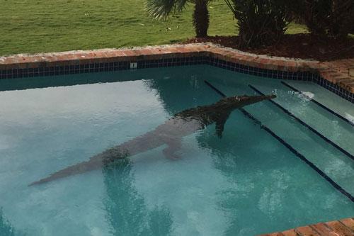 Cá sấu được phát hiện trong bể bơi ở Florida.